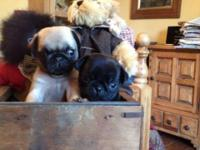 Hi we have beautiful pug puppies boy and girl.These