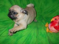 FAWN PUG PUPPIES! Females, Vet checked, UTD