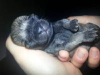 I have 2 litters of beautiful ckc pug puppies for sale.