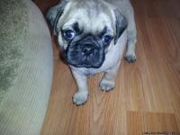 I have 2 beautiful female and 3 beautiful male ckc pug