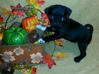 We have two black ladies pugs for sale.Have been vet