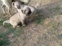 Pug puppies for sale 2 females 1 male fawn 1st shots