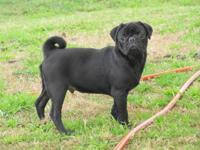 We have an adorable litter of black pug puppies