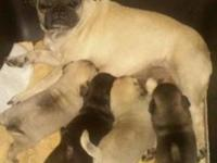 I have 4 pug puppies their purebred but not papered