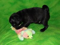 STRONG BLACK PUG PUPPIES Just 2 males available ...