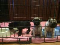 I have 4 Pug puppies 2 fawn male, 1 black male and 1