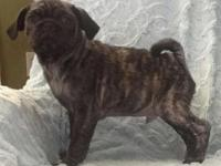 Pug puppies 2 Rare Brindle (tiger striped) males, 12