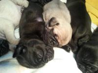 pug puppies are here they will be ready to go home in