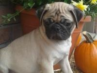 Hi, I have 3 Pug puppies available. 2 males and 1