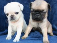 Gorgeous Tiny Pug Puppies! Eight week old Purebred
