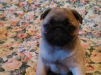 Pug puppy 1 sweet fawn male Will be ready to go at 9-12