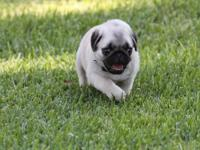 Pug Puppy, AKC, Champion Lines, $750. Only one left.