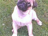 I have 1 male pug puppy left from a litter of 4! He