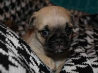 Absolutely stunning male purrebred Pug puppy. He is