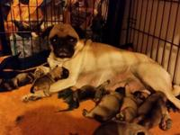 I have one male pug puppy left. Has had first shot an