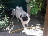 I have one fawn pug puppy male , he was born on April