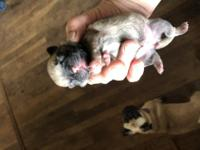 Silvia is a ckc fawn pug puppy.she is very playful and