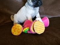 Adorable CKC registered Pug puppy is now ready for her