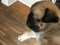 Angel is ckc apricot/fawn pug puppy.She is very playful