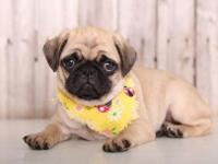 Peaches is an pretty, AKC, Pug!! She loves to cuddle on