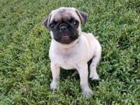 Super sweet, pug through and through! Registered with