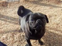 Dooney is a small black pug that we have raised from a