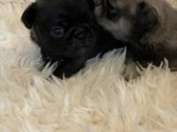 Brexx is a beautiful AKC silver pug puppy. He is a