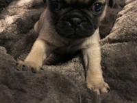 Puppy is Full Bred AKC Pug, Health Clearances, Vet