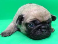 AKC Pugs We are an reconized AKC Breeder of H.E.A.R.T.