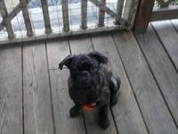 9 month old female pup puppy for sale, brindle, shots,