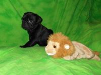 STRONG BLACK PUG PUPPIES. Just 2 male offered! ...