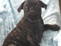 Pug male puppy, 12 weeks, rare brindle (black with gold