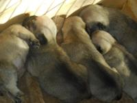 pug puppys for sale males asking $550.00
