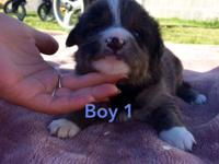 Pug pups blue eyes pomsky   Pups are socialised in home