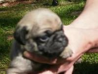 2 Fawn w / Black Mask Male Pug. Puppies $500. each -.
