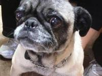 Pug - Samantha - Small - Adult - Female - Dog Name: