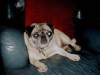 Pug - Spicey - Small - Adult - Female - Dog Name: