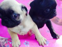 11 week old male pugs. one black one tan. They are up