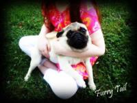Pug - Toby - Medium - Adult - Male - Dog Poor Toby is