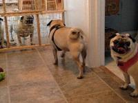 Pug - Tucker (& Maggie) : Adopted! - Medium - Adult -