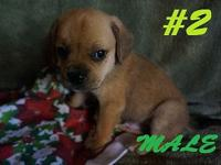 Super Cute Puggle Puppies! Puggles are the best cross