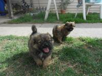 cute 8 week old pug yorkie puppies, one male, two