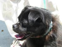Pug - 20757 Allie - Medium - Adult - Female - Dog Maybe