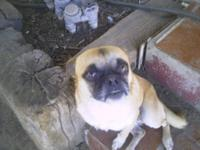 Pug - 'farley' - Small - Young - Male - Dog Meet
