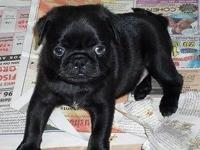 Taking Names for Notify List for Upcoming Pug Puppy