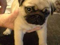 Pug puppy, AKC fawn male. Beautiful head, stocky, cobby