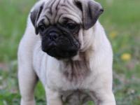 Up for adoption is one of our 6 week old Pug Puppies.