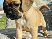 We will be having a litter of Pugaliers (Pug/Cavalier