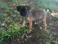 Puggle male pup a fun loveing pup looking for a warm