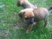 We two beautiful female puggles that is small and great